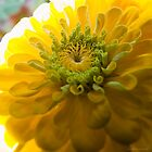 Yellow Zinnia I by Brian Achille