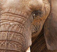 Close Up Elephant by OzzieDreama