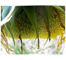 Wilting Sunflower I Poster