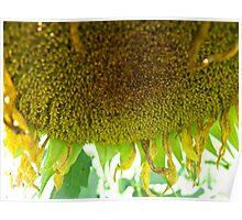Wilting Sunflower II Poster