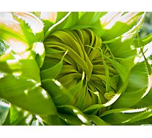 Young Sunflower (color) Photographic Print
