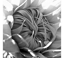 Young Sunflower (black & white) Photographic Print