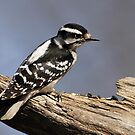Female Downy Woodpecker by Gregg Williams