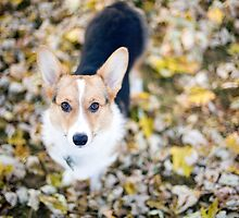 Zoey, The Pembroke Welsh Corgi by Bryant Scannell