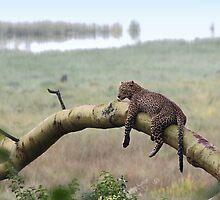 Leopard in the Rain, Lake Nakuru, Kenya by Carole-Anne