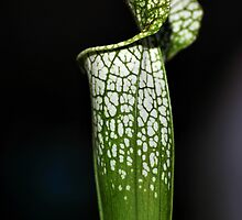 Green Pitcher Plant Study by Carole-Anne