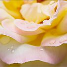 Dewey Eyed Rose 1 by Chris Cohen