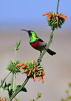 Sunbird on Wild Dagga Plant by HippyDi