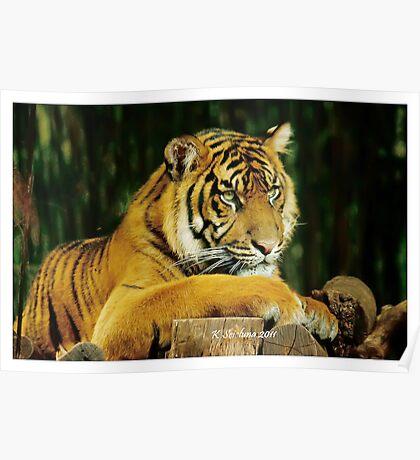 lazy tiger Poster