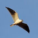 """Black Shouldered Kite"" by jonxiv"