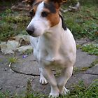 jack russel by uriel909