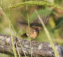 Common Yellowthroat Warbler Female by Richard Labelle