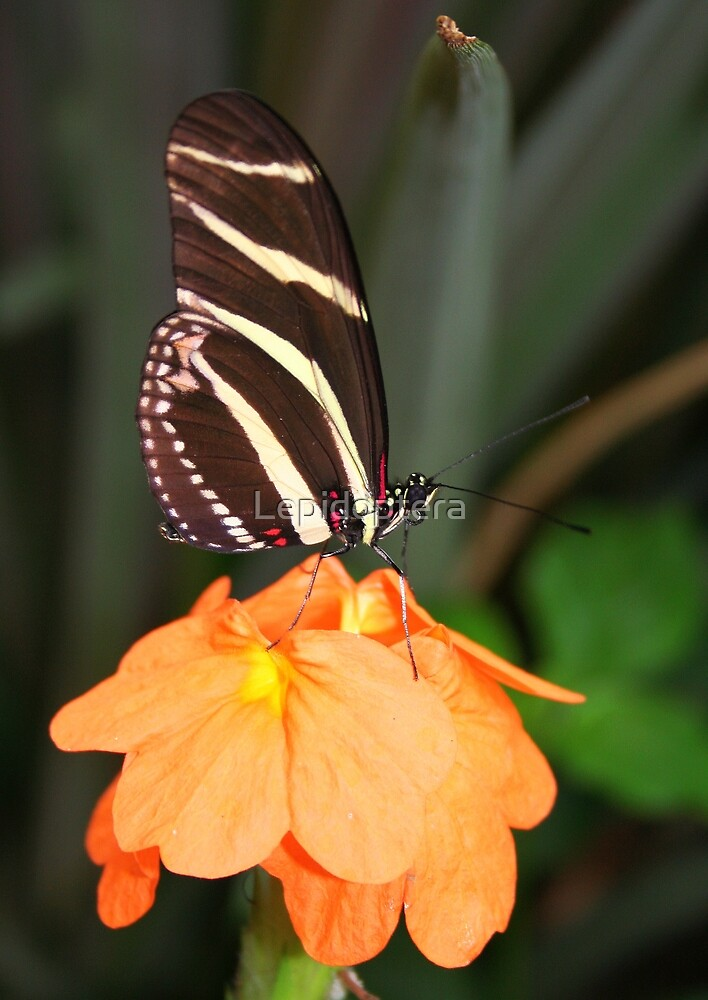 Zebra Longwing on Flower - Heliconius charithonia by Lepidoptera