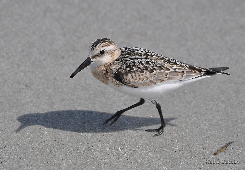Western Sandpiper by Kathy Baccari