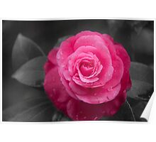 Pink Camilla Flower Poster