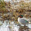 Common Teal by Jamie  Green