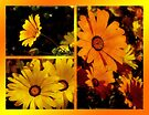 Africian Daisies by Lucinda Walter