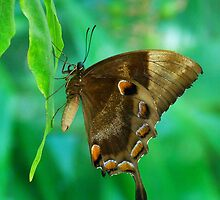 Resting Ulysses Butterfly by Margaret Saheed