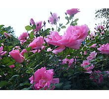 Pink Roses, in a Texas Garden Photographic Print