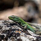 Sicilian Wall Lizard by Xandru