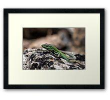 Sicilian Wall Lizard Framed Print