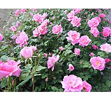 Summer Roses in Pink Photographic Print
