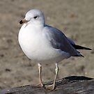 Sea Gull on English Beach, Vancouver, Canada  by Carole-Anne