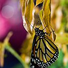 pending monarch by Manon Boily