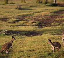 Kangaroos near Ocean Beach by pennyswork