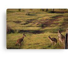 Kangaroos near Ocean Beach Canvas Print