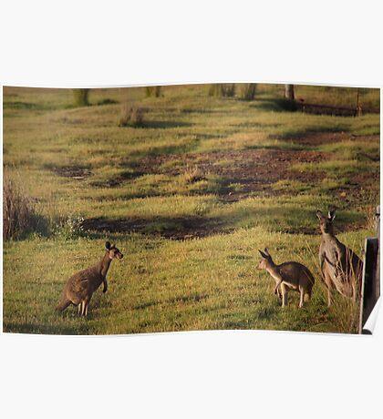 Kangaroos near Ocean Beach Poster