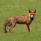 Mr Fox by Anthony Thomas