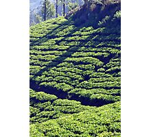 Tea Garden Photographic Print