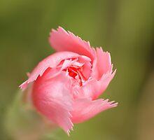 Pink spiralling by Ben Llewellyn