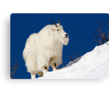 Mountain Goat On Blue Canvas Print