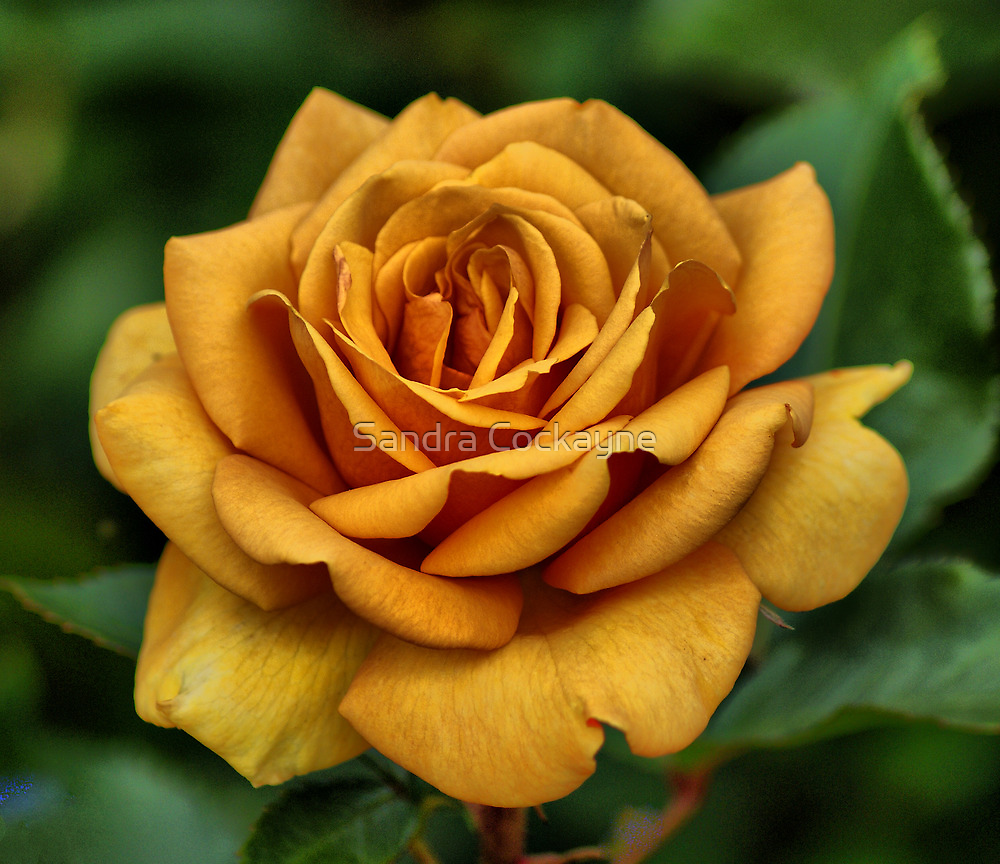 Golden Rose For Mother's Day by Sandra Cockayne