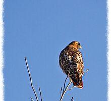 Hawk on High by greyrose
