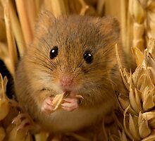 Harvest mouse eating corn by neilborman