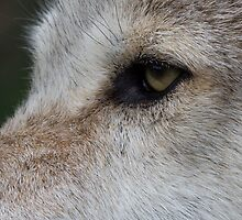 Eye of the wolf by neilborman