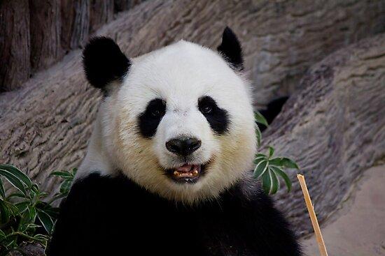 Panda portrait by neilborman