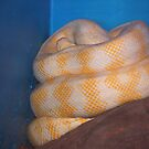 Albino Python by SharonD