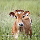 Cute Cow! by cathywillett