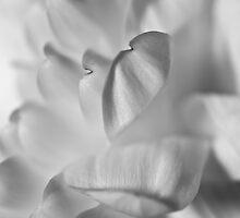 Chrysanthemum by Darren Allen