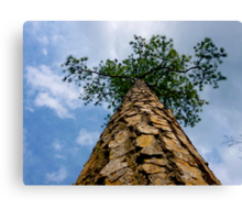 looking up the pine tree by Jonathan Green Canvas Print