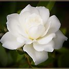 White Rose by Chris Cohen