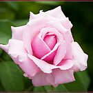 Pink Rose 1 by Chris Cohen