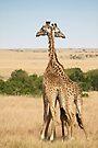 Maasai Giraffes. Two As One. Maasai Mara, Kenya by Carole-Anne