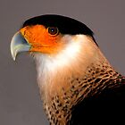 Crested Caracara by freevette