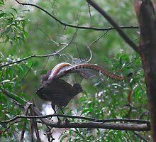 Lyre Bird, Jamberoo Pass. N.S.W. by Damandi