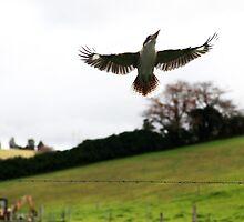 Kookaburra --  Jamberoo by Damandi